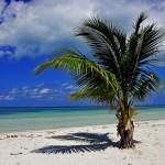 Kuba-Palme